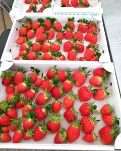イチゴ配送