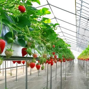 大森園芸いちご栽培