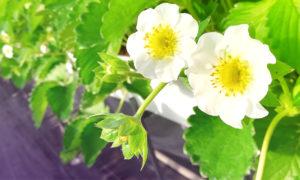ネットベリー苺の花が咲く