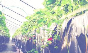 ネットベリー苺の実がなる
